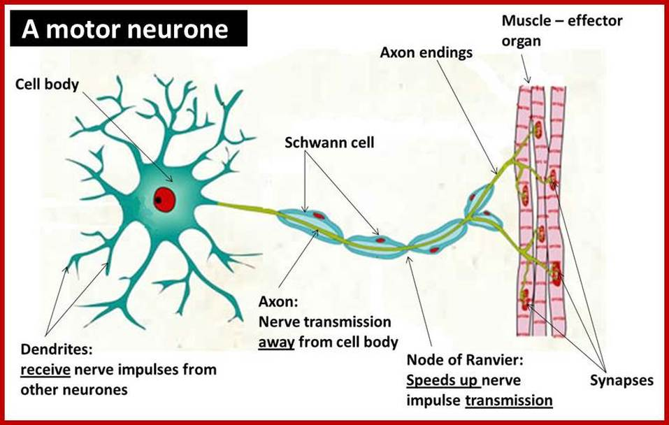 Structure of neurones for What is motor neuron